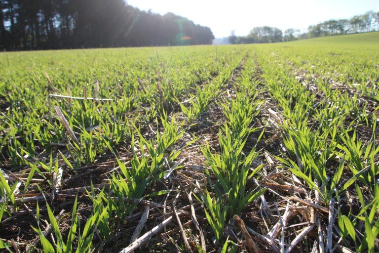 Vårbygg i Danmark sådd direkte med Avatar i etteravgrøder.