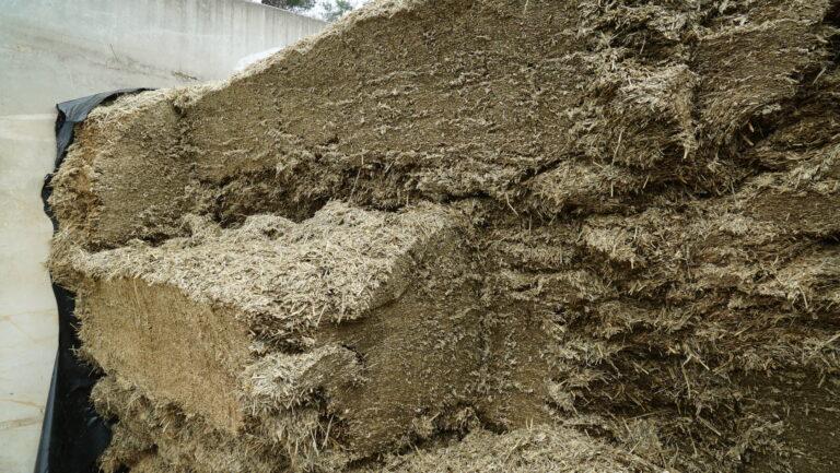Som konsekvens av dårlige grasavlinger i fjor, ble alt kornet direktehøstet med en CLAAS JAGUAR og lagt i silo.