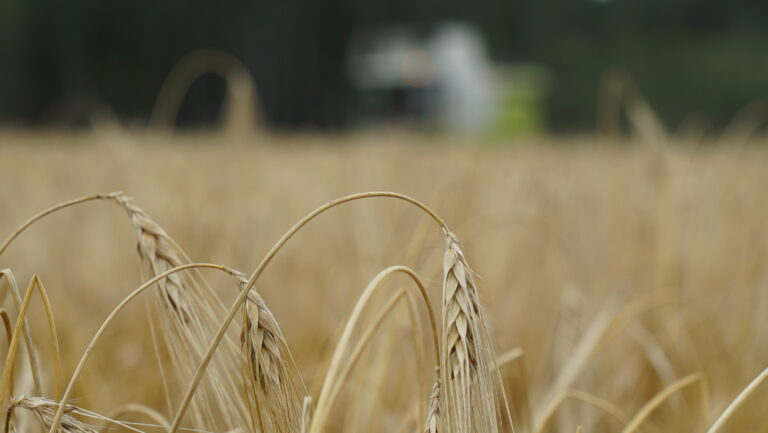 Høstbygget av sorten Mercurioo stod jevnt og fint hos Knut Erik Hersleth i år.