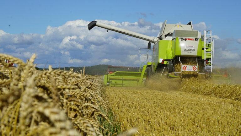 Hveteåkeren fra i fjor leverte både mye korn i tanken og en tykk halmstreng bak treskeren. Halmen bruker Guttorm til å fyre korntørka med.