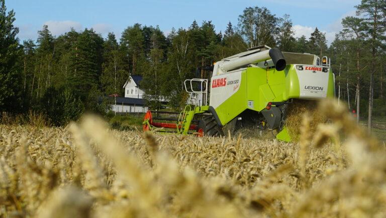 Frodig høsthveteåker med CLAAS LEXION 520 i bakgrunnen.