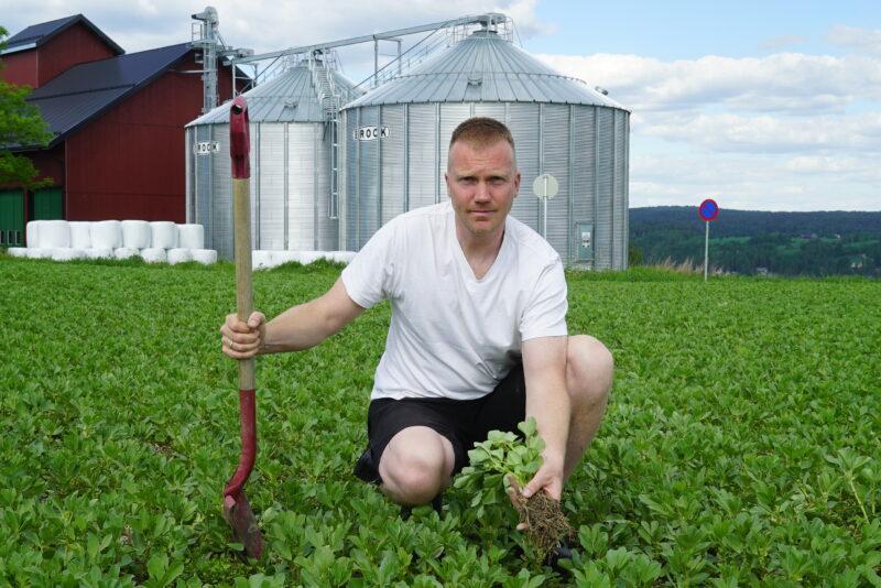 Rhizobiumbakteriene er på plass – nå starter nitrogenfangsten til høsthveten