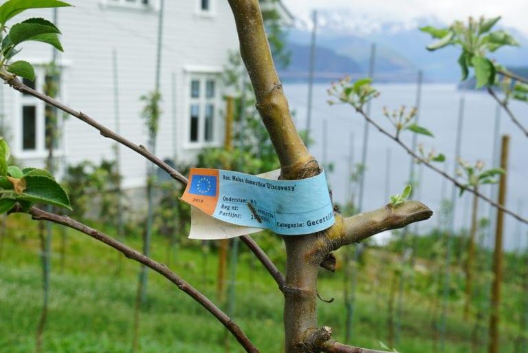 Knut dyrker flere eplesorter, blant annet Raud Aroma, Discovery, Summerred og Gravenstein.