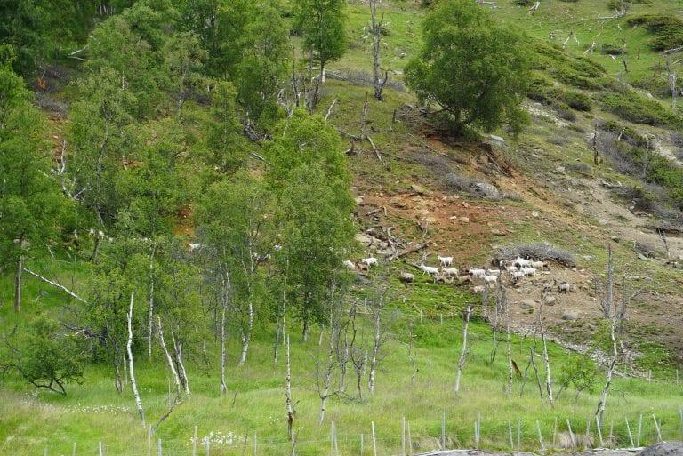 Kåfjorddalen er veldig spesiell, med et tørt og stabilt klima. Gårdbrukerne her får slår to ganger, og høster gjerne to uker før i nabodalen Manndalen. Derfor får Geir Tommy leiepressing når han ønsker.